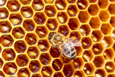 As abelhas são de grande importância econômica, pois produzem vários produtos que são utilizados pelo homem