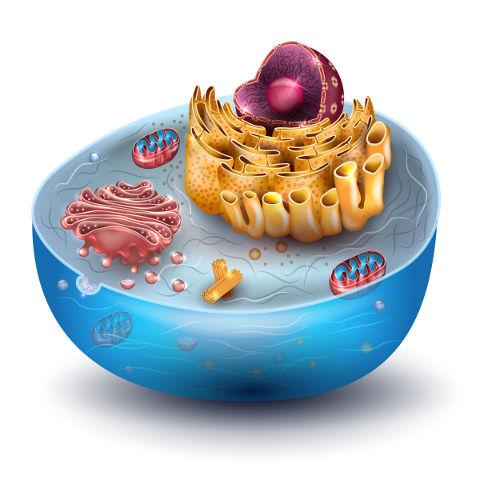 Na célula eucarionte, é possível observar a presença de um núcleo definido