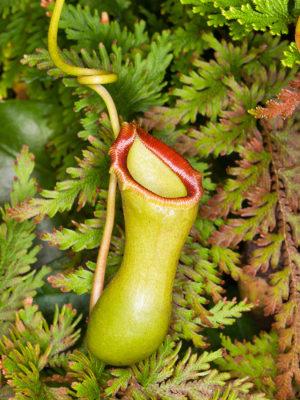 A Nepenthes captura suas presas em folhas modificadas em urnas