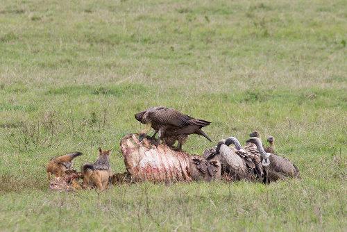 Os abutres se aproveitam dos restos de alimento deixados pelos animais carnívoros