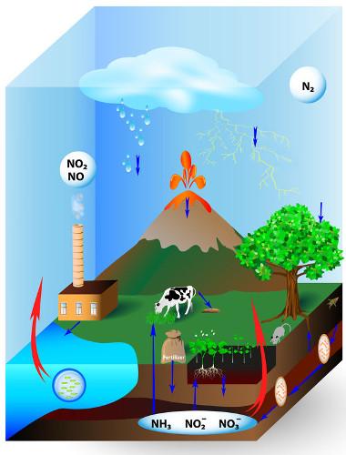 O ciclo do nitrogênio permite que esse elemento seja constantemente reaproveitado