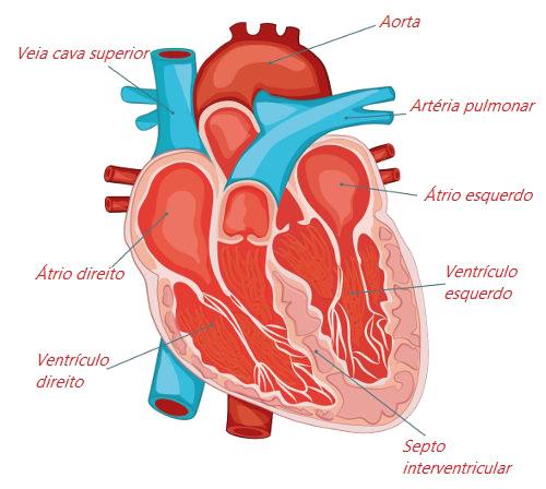 Observe as principais partes do coração humano