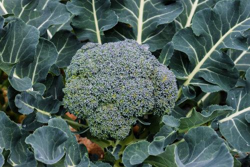 O brócolis de cabeça apresenta uma inflorescência central