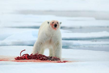 O urso-polar é um animal carnívoro