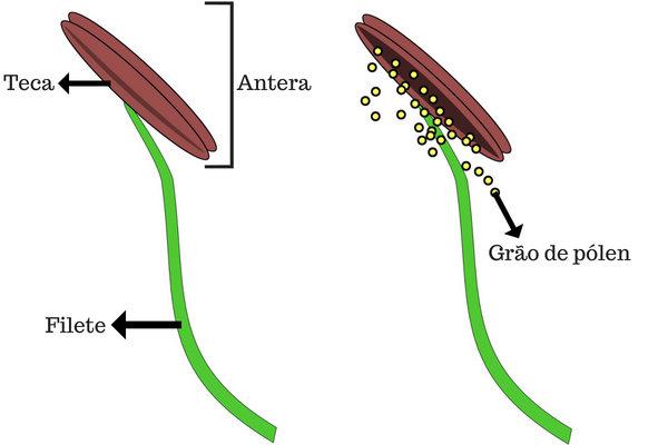Observe as partes básicas de um estame: o filete e antera.