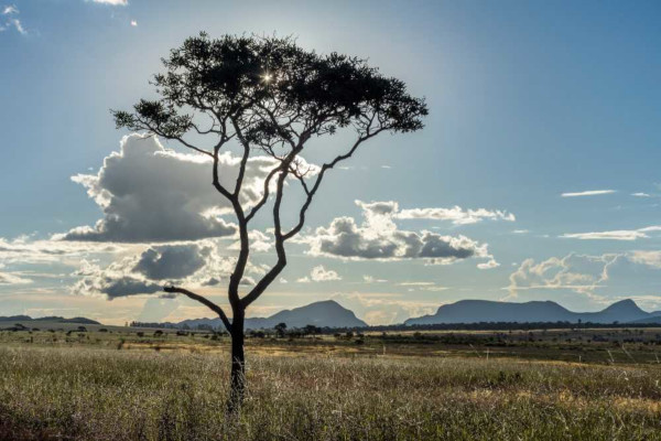 A vegetação do Cerrado é caracterizada por árvores com troncos tortuosos, arbustos e gramíneas.