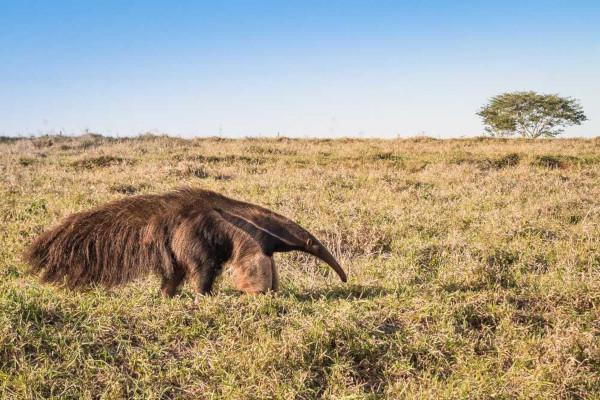 O tamanduá-bandeira é uma espécie animal comum no Cerrado.