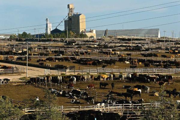 A pecuária intensiva consiste na criação de animais em confinamento e dá tratamento especial ao rebanho.