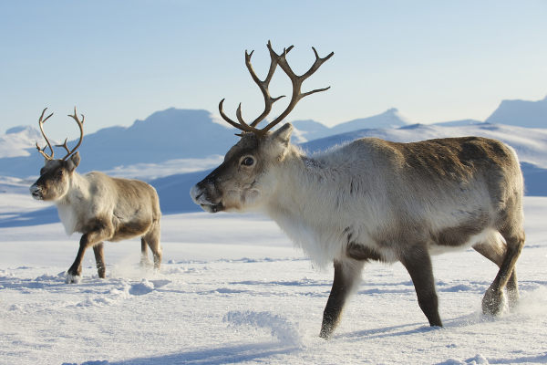 As renas são animais herbívoros.