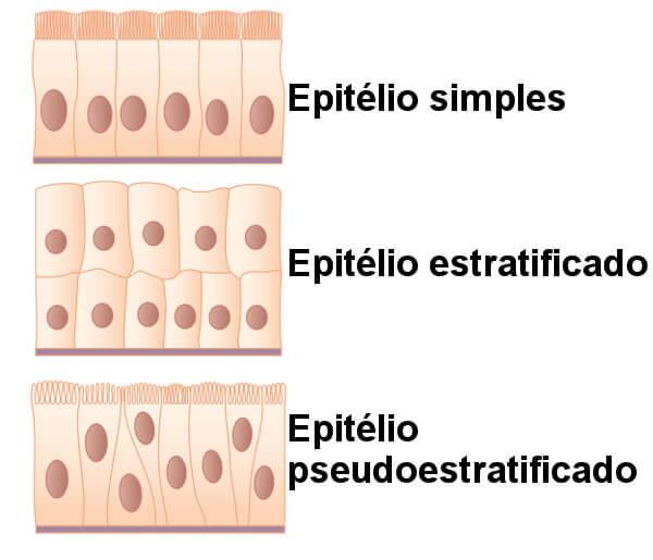 Observe a diferença entre tecido epitelial simples, estratificado e pseudoestratificado.