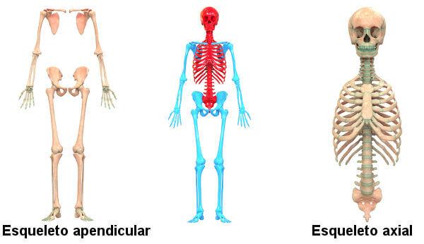 Observe as partes que fazem parte do esqueleto axial e aquelas que fazem parte do esqueleto apendicular.
