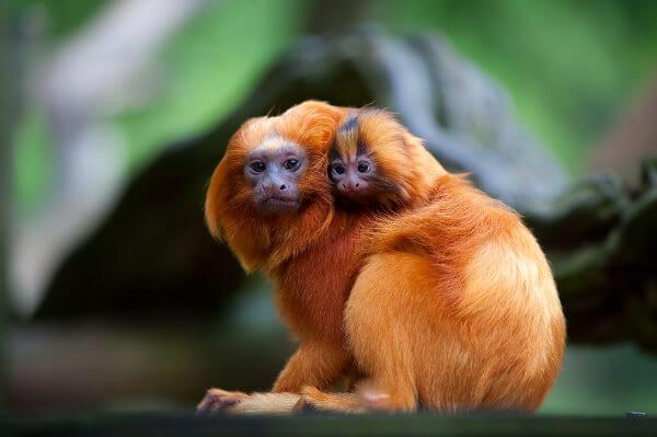 O mico-leão-dourado está classificado como em perigo, ou seja, apresenta risco aumentado de entrar em extinção no ambiente.