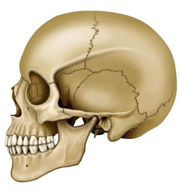A maioria dos ossos do crânio apresenta articulações imóveis.