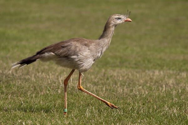 A seriema é uma ave que prefere correr em vez de voar.