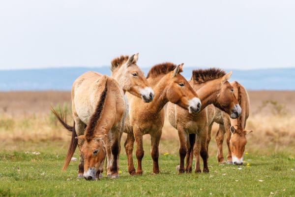Os cavalos selvagens atualmente correm perigo de extinção.
