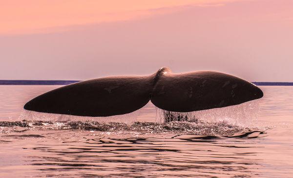 Observe o detalhe de uma nadadeira caudal de uma baleia.