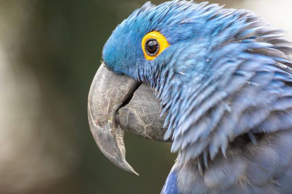 A arara-azul-de-lear é uma espécie encontrada no Brasil.