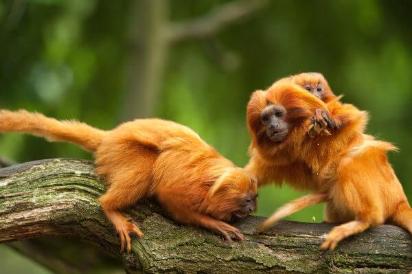 O mico-leão-dourado é uma espécie símbolo da Mata Atlântica.