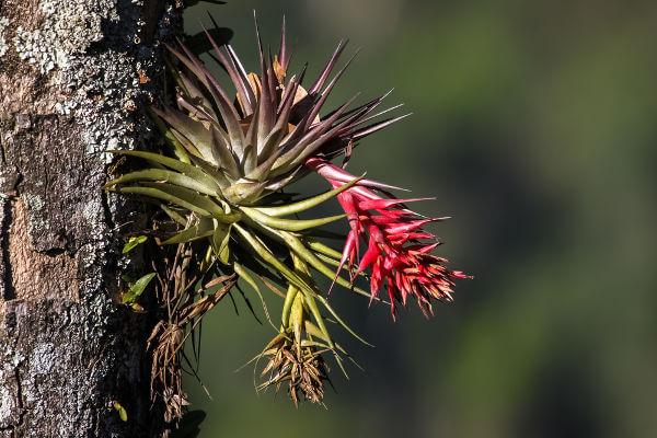 A Mata Atlântica apresenta cerca de 20 mil espécies vegetais, incluindo bromélias e orquídeas.