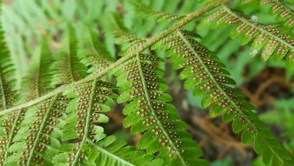 Observe os soros na face inferior de uma folha de samambaia.
