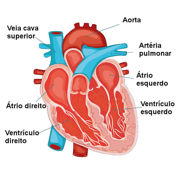 Observe as principais partes do coração.