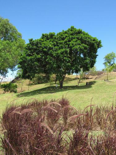 A intensa exploração do pau-brasil quase levou a árvore à extinção e, ainda hoje, ela é considerada uma espécie ameaçada.