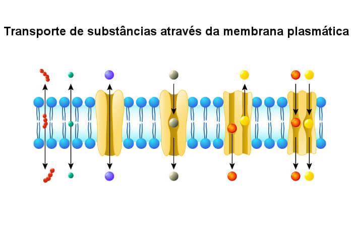 Existem diferentes formas de transporte de substâncias pela membrana plasmática.