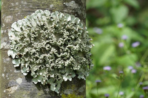 Os líquens são associações entre fungos e algas ou fungos e cianobactérias.