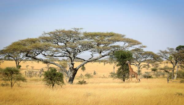 A savana é a vegetação predominante no continente africano.