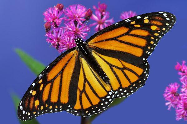 A borboleta-monarca é uma borboleta não palatável.