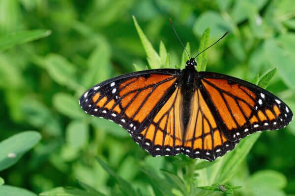 A borboleta-vice-rei imita a borboleta-monarca.