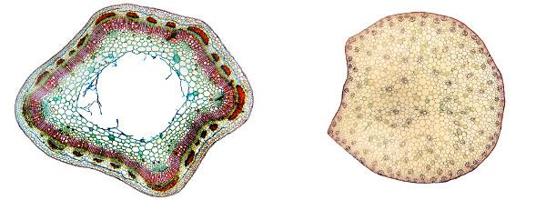 A forma como os feixes vasculares estão dispostos no caule ajuda a diferenciar uma monocotiledônea de uma eudicotiledônea.