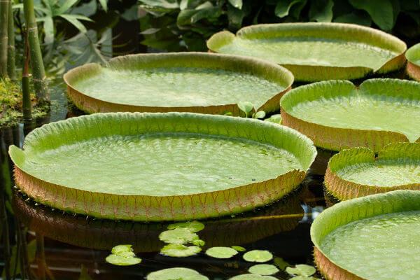 A vitória-régia é uma planta símbolo da Amazônia.