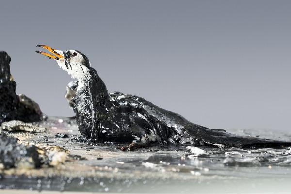 Quando o óleo entra em contato com os animais, pode levá-los à morte por uma série de fatores, como intoxicação e desequilíbrio térmico.