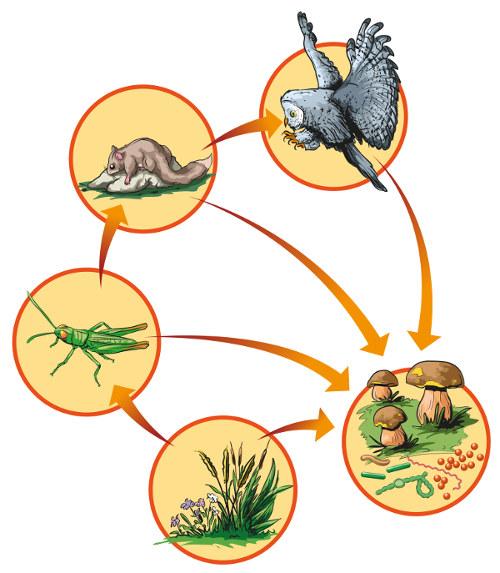 Observe que os decompositores atuam, em todos os níveis tróficos mencionados, decompondo a matéria orgânica.
