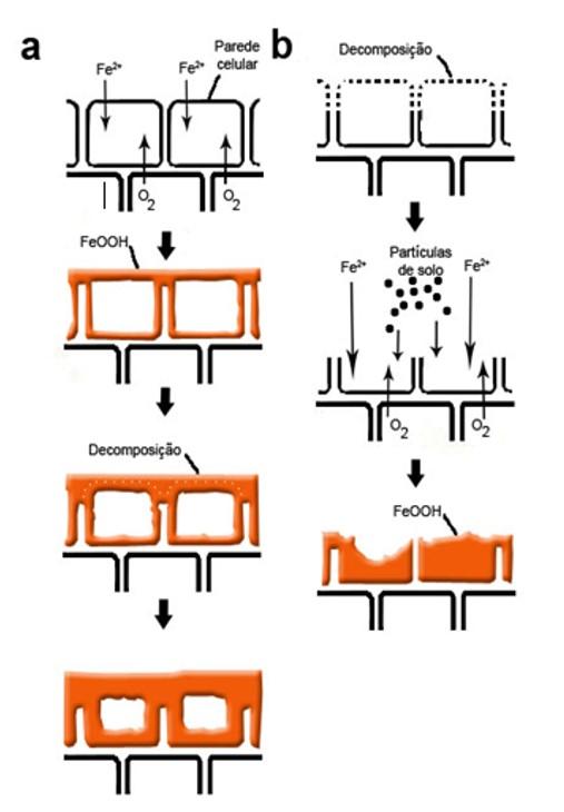 Modelo hipotético da formação de placas de ferro de acordo com Chen et al 1980a, figura reproduzida de Mendelssohn et al,. 1995.