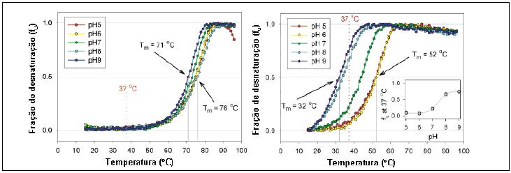 O gráfico da esquerda demonstra que a p53-wt só em temperatura acima de 50°C e em qualquer PH desestabiliza-se. O da direita evidencia a p53-R337H que aproximadamente 70% dos tetrâmeros estão desestruturados em temperatura de 37°C e PH 8.